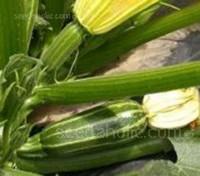 Marrow F1 Bush Baby is a baby marrow variety bred to satisfy gardener's demands for a smaller marrow.