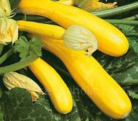 Courgette 'F1 Gold Rush' is a gourmet treat with smooth, thin yellow skins and crisp flesh.