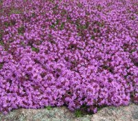 One of the best low growing ground covers, Thymus serpyllum forms evergreen dense cushions 5 to 10cm tall.