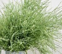 Lepidium sativum, Persian Cress or Ornamental Cress