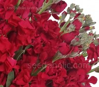 Matthiola incana 'Miracle Crimson'