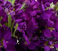 Matthiola incana, 'Purple Heart'