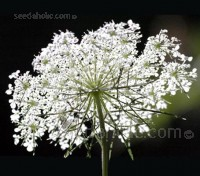 Queen Annes Lace, Back of the Flower