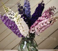 The Magic Fountains series was developed to produce the widest range of colours available in a dwarf 'Pacific' type delphinium.