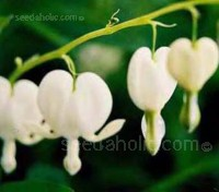Nodding, pure white heart shaped flowers, dangle enticingly from arching flower stems