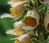 Each orchid like flower of Digitalis ferruginea has an interior of rich red to dark brown veins
