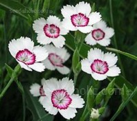 Dianthus deltoides is a spectacular first-year-flowering perennial that forms a dense evergreen mat.
