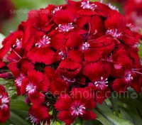 With clusters of single, brilliant scarlet red flowers.Dianthus 'Scarlet Beauty' is an exceptional variety of the quintessential Sweet William.