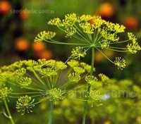 Dill causes few problems for novice gardeners. It is a very attractive plant, whether container grown or in a garden bed.