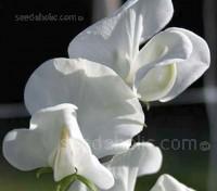 Lathyrus odoratus, Grandiflora 'Dorothy Eckford'