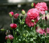 Papaver paeoniflorum 'Double Mixed'