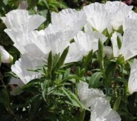 'Duchess of Albany' produces pure white, cup-shaped blooms that cluster atop 45cm (18in) stems.