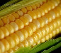 Sweetcorn Earlybird F1 is one of the earliest maturing Supersweet varieties currently available.
