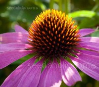 For gardeners Echinacea purpurea is one of the most versatile perennials for the garden.