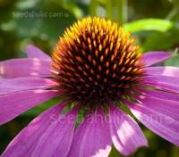 For gardeners Echinacea purpurea is one of the most versatile perennials for the garden.