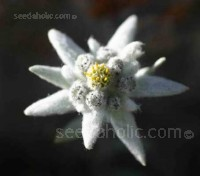 Edelweiss is much loved as the traditional symbol of the Alps. It is the Swiss national flower.
