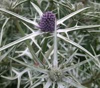 Eryngium variifolium 'Miss Marble'