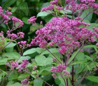From July and continuing until autumn, the plants are crowned with large, domed panicles of pinkish-purple nectar-rich flowers.