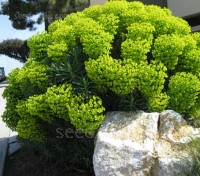 Euphorbia characias forms a natural rounded shape, and brings structure and an architectural quality to the garden, while the colour and texture offer almost endless contrast possibilities.