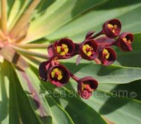 Euphorbia mellifera is an evergreen shrub is grown as much for its foliage as its deliciously scented bronze tinted flowers.