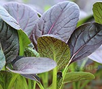 Pak Choi 'F1 Red Wizard' is a dark red variety that produce crops that have consistent colour even with summer temperatures.