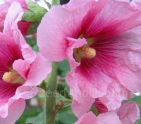Very easy to grow from seed, this reliable perennial is extremely hardy and will flourish in full sun and rich soil.