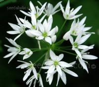 Allium ursinum, Ramsons Garlic