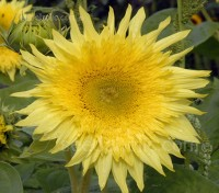 'Starburst Lemon Aura' is the first sunflower to feature pure double lemon flowers.