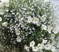 Lobelia erinus pendula 'White Fountains'