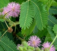 Mimosa pudica, the 'sensitive plant', is a source of fascination to adults and children alike.