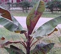 Musa balbisiana