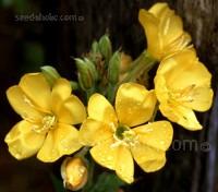 Evening Primrose, Oenothera biennis