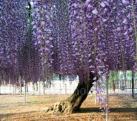 There are many ancient wisteria vines growing throughout the world, this is the widest wisteria at Ashikaga Flower Park in Tochigi, Japan.