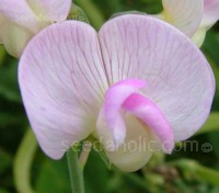 This stunning sweet pea has clusters of delicate pink flowers from June to September