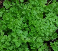 Take a walk on the mild side with delicate, subtle, elegant Chervil.