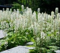 Tiarella or foamflowers are native to the woodlands of North America and have recently been featured on the High-Line in New York.