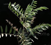 The liquorice plant is a legume and is native to the Mediterranean.