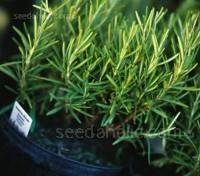 Cut sprigs of rosemary and place with roasted meats, especially lamb, pork, chicken and turkey.