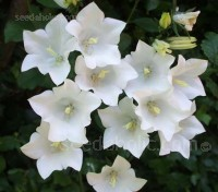 Campanula persicifolia alba is an old-fashioned cottage garden flower of great charm.