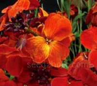 'Fire King' is another old and tried variety, with striking, flame-like, glowing orange-scarlet flowers.