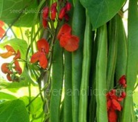 Runner Bean 'Firestorm' is the first self-fertile scarlet-flowered runner bean.