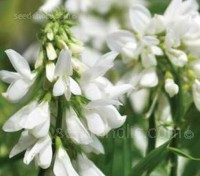 Galega officinalis 'Alba' blooms in summer through to early autumn with erect racemes of pure white flowers.