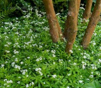 Galium odoratum, known as Sweet Woodruff can be a valuable addition to the garden, particularly shaded gardens.