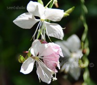Gaura lindheimeri 'Summer Breeze'  is a hardier, more robust variety that has now been made available in seed form.