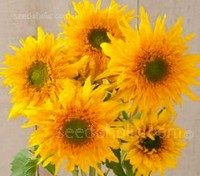'F1 Gemini Summer' is F1 hybrid tall cut flower variety with golden yellow, double flowers.