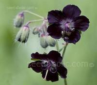 Geranium phaeum var. phaeum 'Samobor'