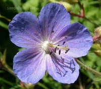 Geranium pratense is one of our loveliest wild flowers and worthy of a place in any border.