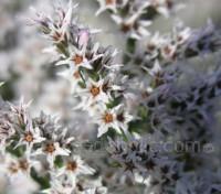 Limonium tartaricum 'Statice'