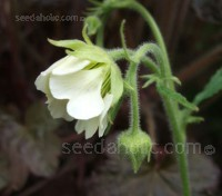 Geum rivale Album with tall stems bearing nodding bell shaped pale green-white flowers from late spring to midsummer.