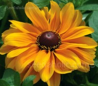 Rudbeckia hirta 'Large Flowered Mix'